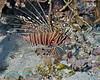Spotfin Lionfish 6