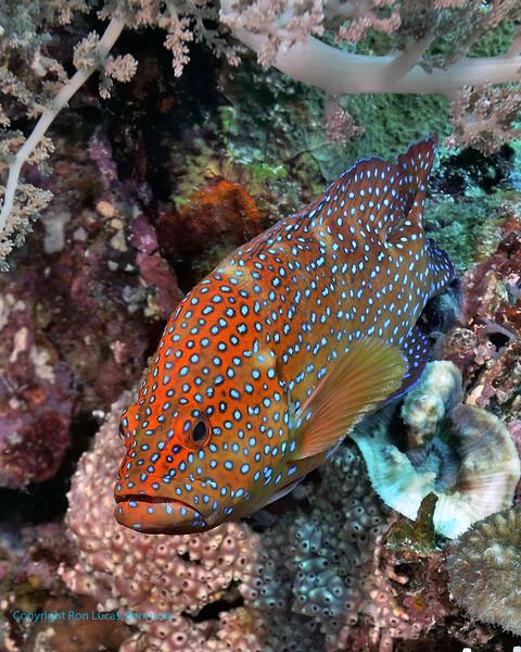 Coral Grouper 4