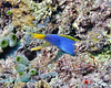 Blue Ribbon Eel 3