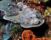 Papuan Scorpionfish 3