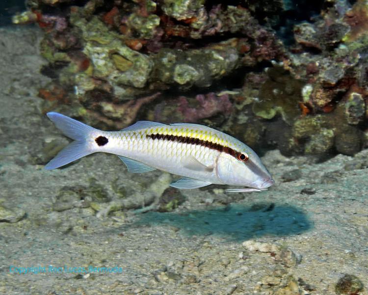 Dash-Dot Goatfish 1