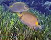 Golden Rabbitfish 3