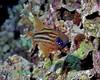 Cardinalfish 1