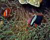 Tomato Anemonefish 5