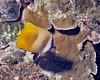 Blacklip Butterflyfish 2