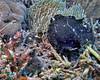 Giant Frogfish Black Phase