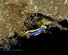 Nudibranch 11