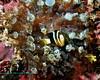 Clark's Anemonefish 8