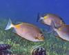 Golden Rabbitfish 1