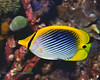 Spot-Tail Butterflyfish 1