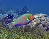 Surf Parrotfish 1