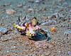 Flamboyant Cuttlefish 3