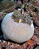 Pink Anemonefish 1