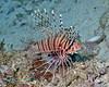 Spotfin Lionfish 5