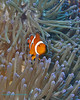 False Clown Anemonefish 10