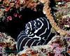 Zebra Moray 6