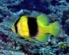 Doublebanded Soapfish 1