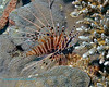 Spotfin Lionfish 4