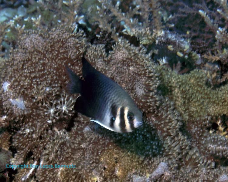 Western Barhead Damselfish