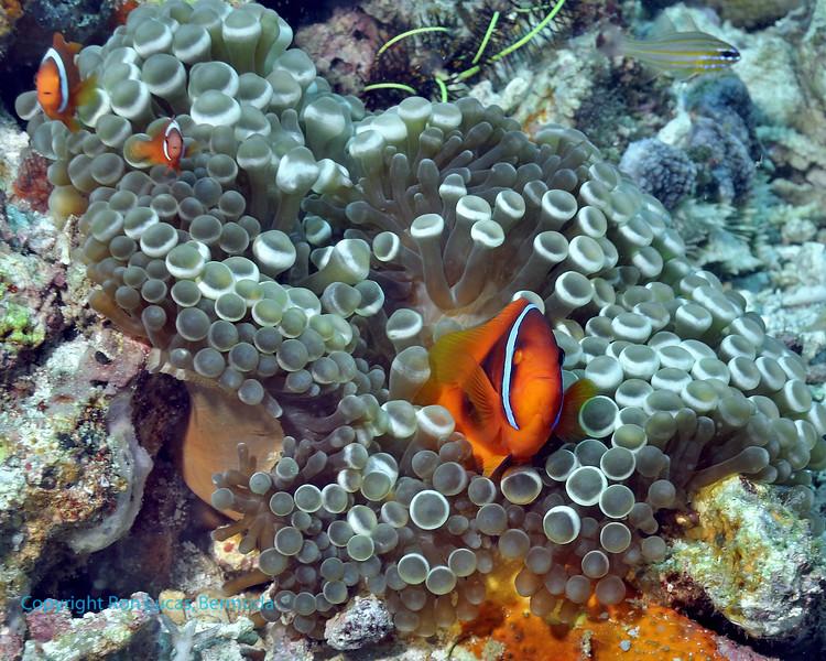 Tomato Anemonefish 1