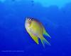 Yellow Damselfish 1