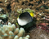 Vermiculated Angelfish 1