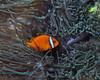 Tomato Anemonefish 2