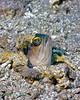 Yellowbarred Jawfish 2