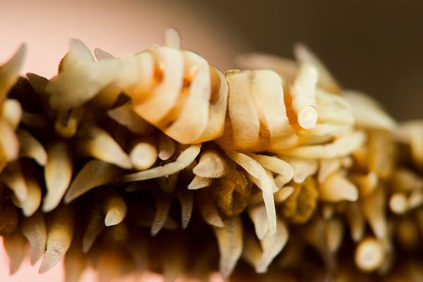 Coral shrimp closeup
