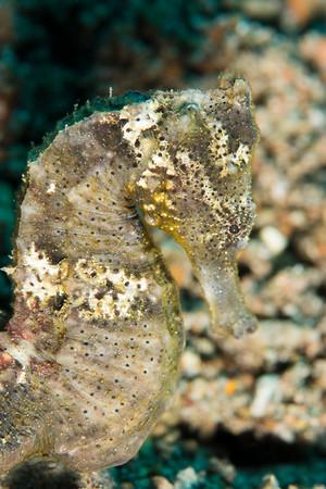 Common seahorse portrait