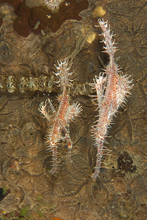 Family of ghostpipefish