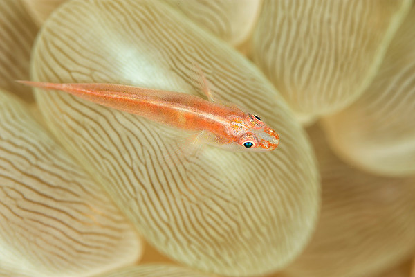 Blenny on bubble coral