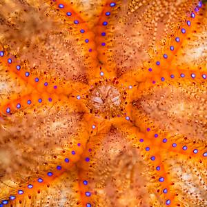 Urchin details