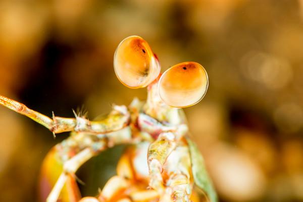Mantis eyeballs