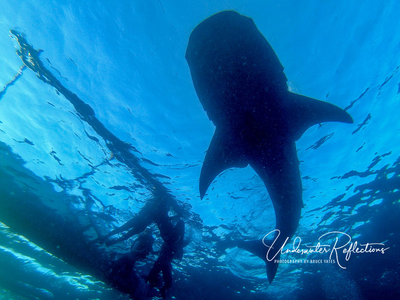 Whale shark (15-20 ft long) at Oslob