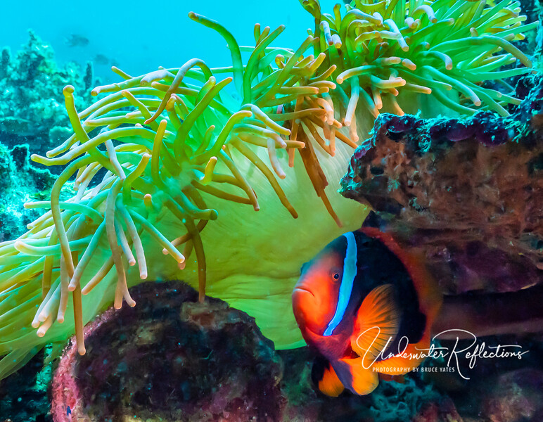"4-5-inch long female Tomato Anemonefish (aka ""clownfish"") underneath its anemone."