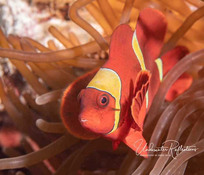 3-inch male Maroon (or Spine-Cheek) Anemonefish (aka Clownfish).  Like male Tomato clownfishes, male Maroon/Spine-cheek clownfish are generally bright orange, and seldom venture far from their anemones.