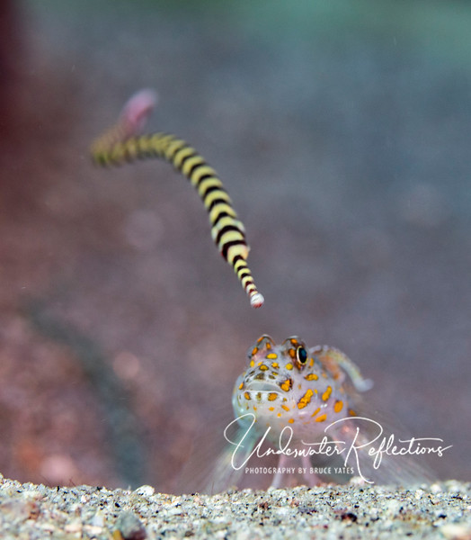 Little buddies - this 3inch Banded Pipefish and Orange-spotted Goby seemed to like being together under a small overhang.