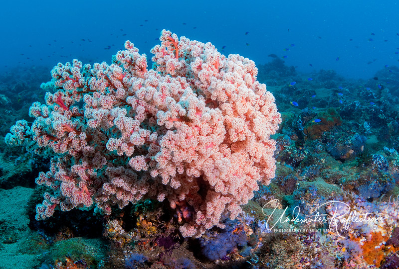 This beautiful pink soft coral is 3-4 feet across, and all of its polyps (each a separate animal) appear open and feeding, i.e., filtering plankton from the water.