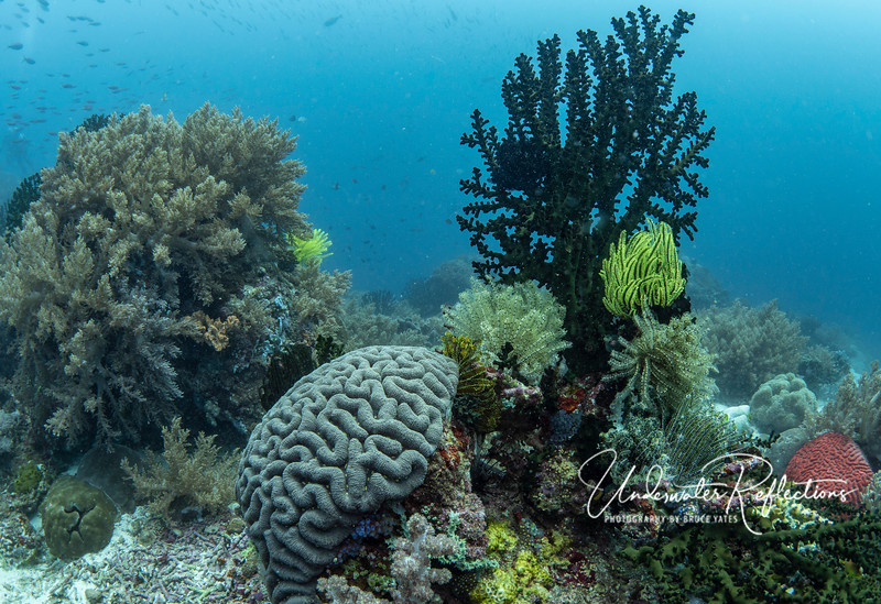 Brain Coral among other corals and crinoids