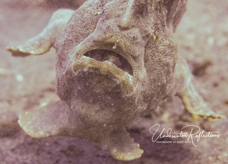 Giant Frogfish (technically Anglerfish) - 10 inches high and 12 inches long - trying to swim, but not very coordinated.