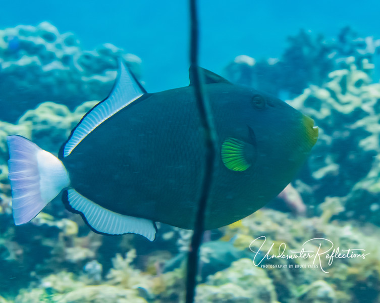 Pinktail Triggerfish (8-10 inches)