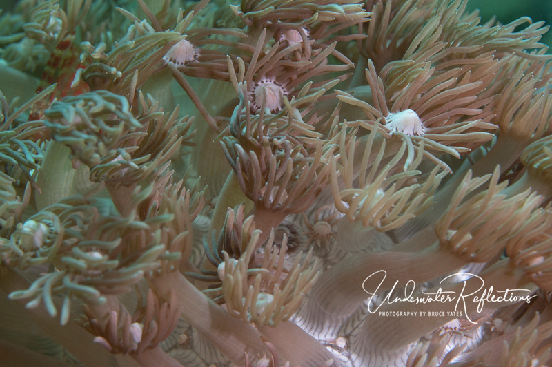 Soft coral detail (each florette is a separate animal).