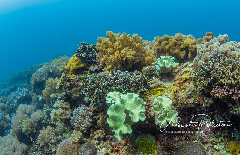 Elephant-ear Sponges among numerous corals