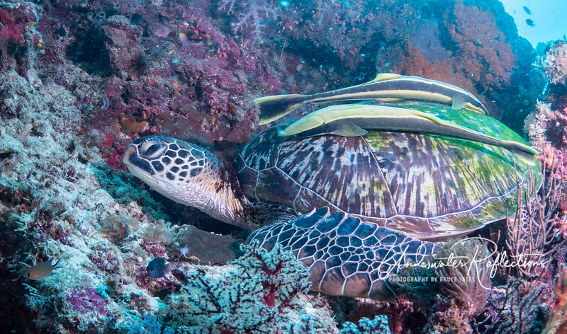 A Hawksbill Turtle rests, while two free-loading Remoras (aka Sharksuckers) hang on to catch little bits of food that might float free when the turtle eats coral or sponges.  I wonder if the presence of such large remoras on this turtle might be the result of declining shark populations (due to Asian shark-finning fleets that are decimating sharks world-wide for shark-fin soup).