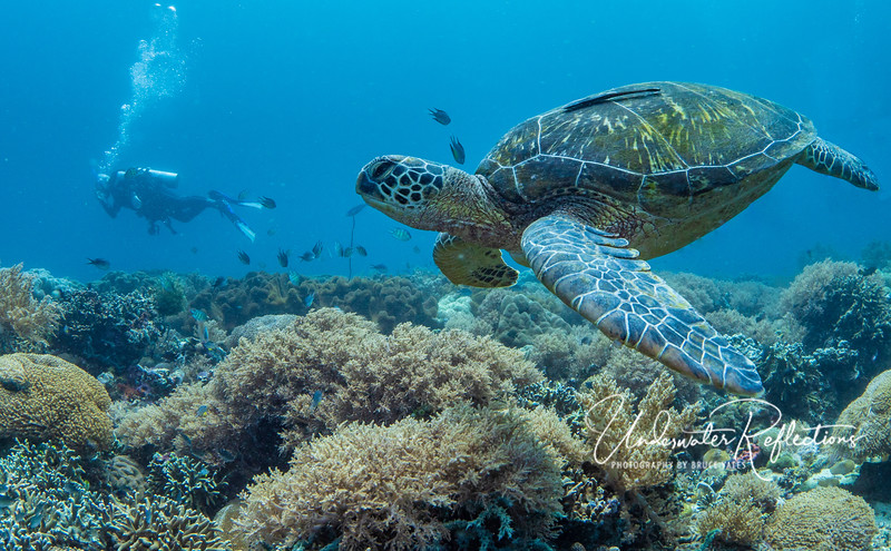 Coming in for a landing - this Hawksbill Turtle looks for a place to settle down - either for a nap or a meal.