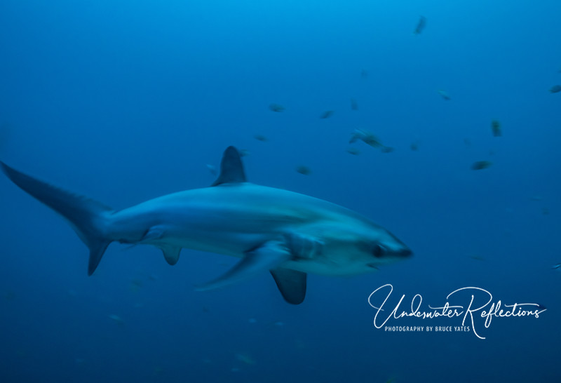 Thresher Shark at 6AM and depth of 100ft, no strobe or flash.  As you can see, their eyes are much larger than most sharks, as they feed mostly at night or deep water.