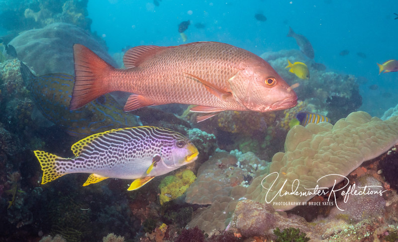 Red Snapper (16-inch) and Yellow-banded Sweetlips (12-inch)