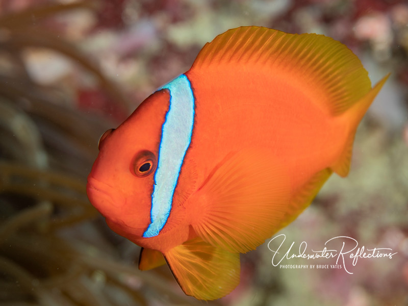 Male 2-3 inch Tomato Anemonefish (aka clownfish).  Males are almost always bright orange, and (unlike females) almost never venture away from their anemones.
