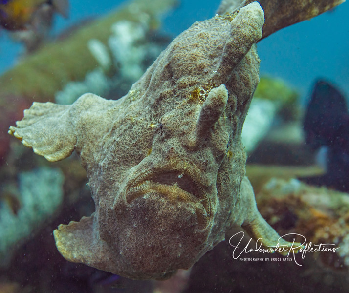 Giant Frogfish (technically Anglerfish) - 10 inches high and 12 inches long.  Frogfish change color to match their surroundings (or sometimes turn a dramatically different color to look like a lump of sponge), and rely on their prey (fish that swim by) not to notice them until they inhale them.